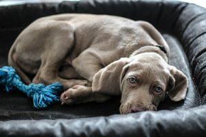 dog-bed-cl-cs