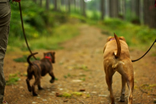 dogs-on-leash-cl