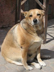 fat-dog-cl